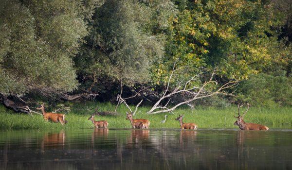 Deer Moving Around Dusk