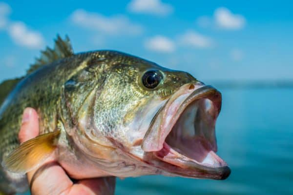 Bass Eyes Close Up