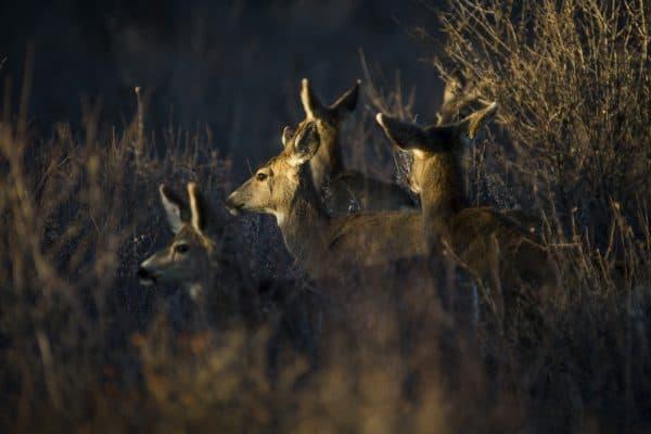 Hunting Deer At Night