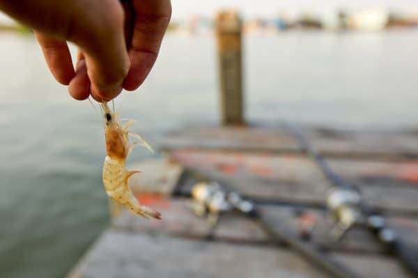 Surf Fishing With Shrimp