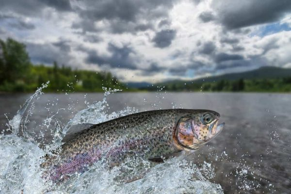 Tips to Catching Stocked Trout