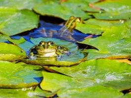 Can You Use Frogs as Live Bait?